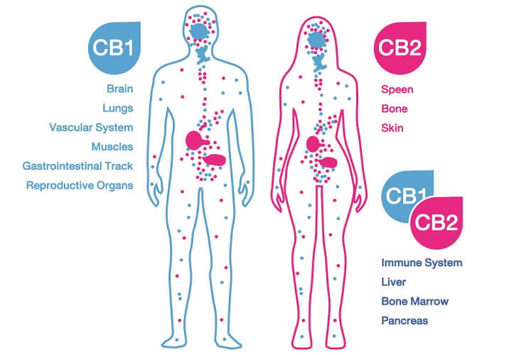 Cannabinoid receptors CB1 and CB2 and effects on human body